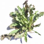 Bull Thistle weed