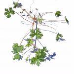Carolina Geranium weed