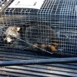 Pest Control – Wildlife Removal